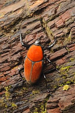 Weevil (Macrochirus praetor) with aposematic coloration, Taman Negara, Kelantan, Malaysia  -  Ch'ien Lee