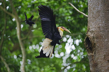 Plain-pouched Hornbill (Aceros subruficollis) male approaching nest cavity being mobbed by Greater Racket-tailed Drongo (Dicrurus paradiseus), Uthai Thani, Thailand  -  Ch'ien Lee