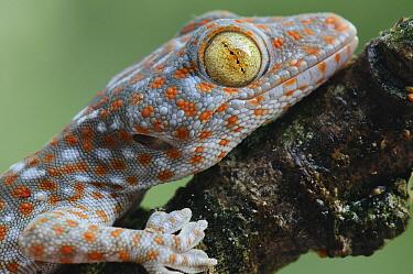 Tokay Gecko (Gecko gecko) juvenile showing vertical pupil, Uthai Thani, Thailand  -  Ch'ien Lee