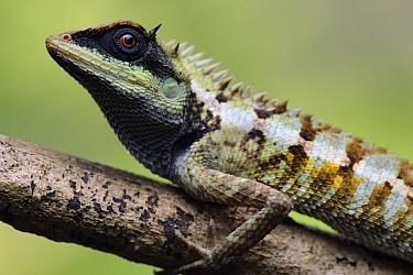 Forest Crested Agama (Calotes emma) lizard, Krabi, Thailand  -  Ch'ien Lee