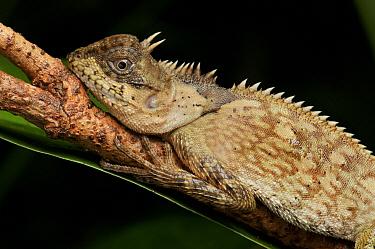 Armored Pricklenape (Acanthosaura armata) lizard, Krabi, Thailand  -  Ch'ien Lee