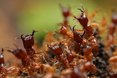 Safari Ant (Dorylus laevigatus) guards protecting workers removing flesh off animal carcass, Sarawak, Borneo, Malaysia  -  Ch'ien Lee