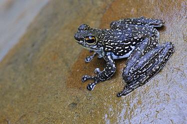 Sabah Splash Frog (Staurois latopalmatus), Sarawak, Borneo, Malaysia  -  Ch'ien Lee
