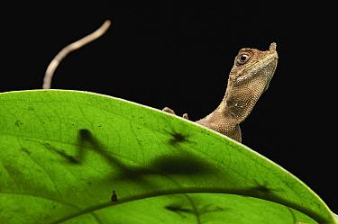 Ornate Earless Agama (Aphaniotis ornata) lizard, Sabah, Borneo, Malaysia  -  Ch'ien Lee