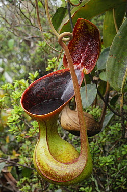 Low's Pitcher Plant (Nepenthes lowii) pitcher, Sabah, Borneo, Malaysia  -  Ch'ien Lee