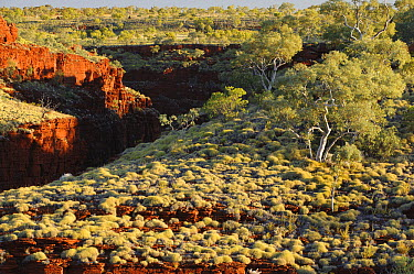 Spinifex Grass (Spinifex sp) above rock gorges, Karijini National Park, Western Australia, Australia  -  Ch'ien Lee
