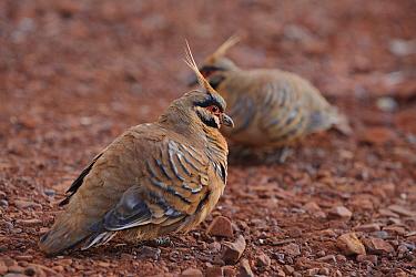 Spinifex Pigeon (Geophaps plumifera) pair, Western Australia, Australia  -  Ch'ien Lee