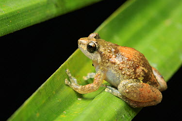 Cross Frog (Oreophryne sp), Halmahera Island, North Maluku, Indonesia  -  Ch'ien Lee
