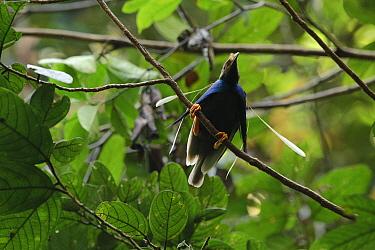 Standardwing (Semioptera wallacii) male displaying at lek, Halmahera Island, North Maluku, Indonesia  -  Ch'ien Lee