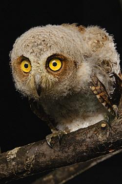 Moluccan Scops-Owl (Otus magicus) chick, Halmahera Island, North Maluku, Indonesia  -  Ch'ien Lee