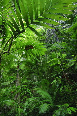Lowland rainforest interior with a variety of plant forms, Halmahera Island, North Maluku, Indonesia  -  Ch'ien Lee