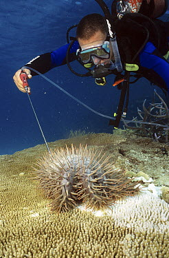 Crown-of-thorns Starfish (Acanthaster planci) being killed by diver injecting it with poison, Kelso Reef, Great Barrier Reef, Queensland, Australia  -  Dr. David Wachenfeld/ Auscape