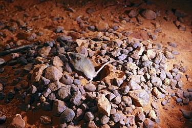 Western Pebble-mound Mouse (Pseudomys chapmani) constructing its mound of pebbles, Pilbara region, Western Australia, Australia  -  D. Parer & E. Parer-Cook