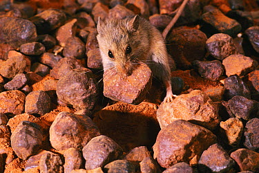 Western Pebble-mound Mouse (Pseudomys chapmani) with pebble in jaw to build mound home, northwestern Australia  -  D. Parer & E. Parer-Cook
