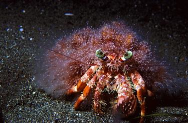 Hermit Crab (Dardanus lagopodes), Indonesia  -  D. Parer & E. Parer-Cook