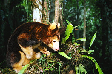 Matschie's Tree Kangaroo (Dendrolagus matschiei), Baiyer River Sanctuary, Papua New Guinea  -  D. Parer & E. Parer-Cook
