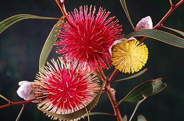 Pincushion Hakea (Hakea laurina) flowers, native to southwest Australia  -  D. Parer & E. Parer-Cook