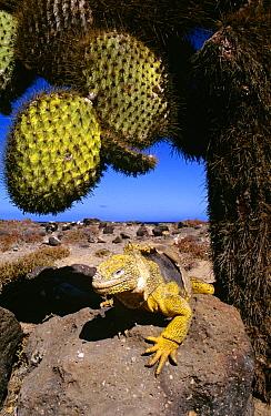 Galapagos Land Iguana (Conolophus subcristatus) basking beneath cactus, South Plaza Island, Galapagos Islands, Ecuador  -  D. Parer & E. Parer-Cook