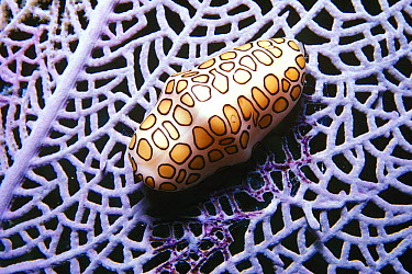 Flamingo Tongue Snail (Cyphoma gibbosum) on sea fan, British Virgin Islands, Caribbean  -  Becca Saunders/ Auscape