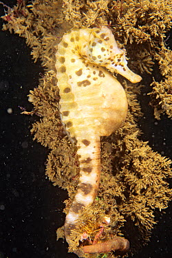 Big-bellied Seahorse (Hippocampus abdominalis) male brooding eggs, Jervis Bay, New South Wales, Australia  -  Becca Saunders/ Auscape