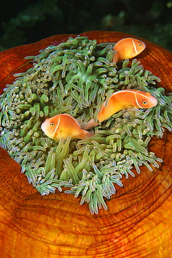 Pink Anemonefish (Amphiprion perideraion) trio in sea anemone tentacles, Papua New Guinea  -  Becca Saunders/ Auscape