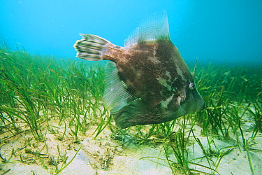 Fan-bellied Leatherjacket (Monacanthus chinensis) grazing on seagrass bed, New South Wales, Australia  -  Mark Spencer/ Auscape