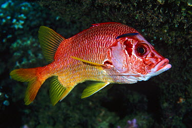 Giant Squirrelfish (Sargocentron spiniferum) being cleaned by Wrasse (Labridae)  -  Mark Spencer/ Auscape