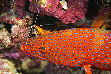 Coral Grouper (Cephalopholis miniata) being cleaned by Scarlet Cleaner Shrimp (Lysmata amboinensis), Great Barrier Reef, Queensland, Australia  -  Mark Spencer/ Auscape