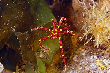 Sea Spider (Pseudopallene sp), Great Barrier Reef, Queensland, Australia  -  Mark Spencer/ Auscape