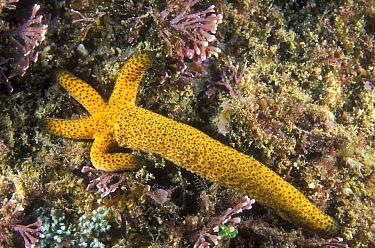 Many-pored Sea Star (Austrofromia polypora) regenerating from single arm, New South Wales, Australia  -  Mark Spencer/ Auscape