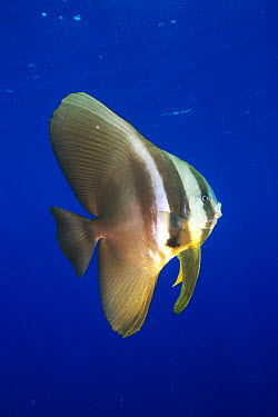 Longfin Batfish (Platax teira), Papua New Guinea  -  Mark Spencer/ Auscape