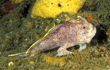 Spotted Handfish (Brachionichthys hirsutus), Tasman Peninsula, Tasmania, Australia  -  Mark Spencer/ Auscape
