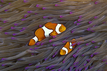 Blackfinned Clownfish (Amphiprion percula) pair in tentacles of Magnificent Sea Anemone (Heteractis magnifica), Solomon Islands  -  Mark Spencer/ Auscape