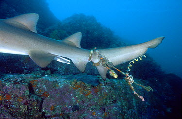 Grey Nurse Shark (Carcharias taurus) male with rope wrapped around tail, South Solitary Island, New South Wales, Australia  -  Mark Spencer/ Auscape