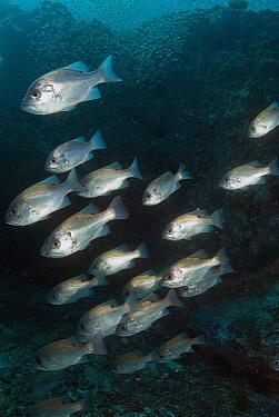Bream (Gymnocranius sp) group amongst huge school of Slender Cardinalfish (Rhabdamia gracilis), North Solitary Islands, New South Wales, Australia  -  Mark Spencer/ Auscape