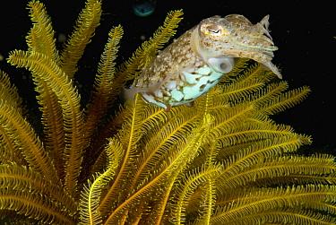 Broadclub Cuttlefish (Sepia latimanus) and crinoid, Anilao, Manila, Philippines  -  Mark Spencer/ Auscape