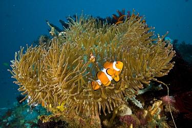 Clown Anemonefish (Amphiprion ocellaris) pair in Magnificent Sea Anemone (Heteractis magnifica) tentacles, Anilao, Manila, Philippines  -  Mark Spencer/ Auscape