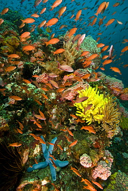 Sea Goldie (Pseudanthias squamipinnis) group in Stony Coral (Tubastraea faulkneri) reef, Anilao, Manila, Philippines  -  Mark Spencer/ Auscape
