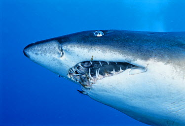 Grey Nurse Shark (Carcharias taurus) with algae on teeth, South Solitary Island, New South Wales, Australia  -  Mark Spencer/ Auscape