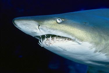 Grey Nurse Shark (Carcharias taurus), South Solitary Island, New South Wales, Australia  -  Mark Spencer/ Auscape