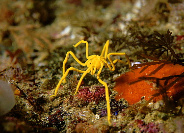 Sea Spider (Pseudopallene ambigua) male carrying eggs underneath its body, Deep Glen Bay, Tasmania, Australia  -  John Lewis/ Auscape