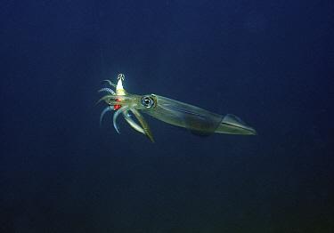 Southern Calamari (Sepioteuthis australis) caught on fishing lure, Wool Bay, South Australia, Australia  -  John Lewis/ Auscape