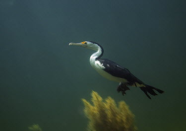 Pied Cormorant (Phalacrocorax varius) swimming underwater, Wool Bay, South Australia, Australia  -  John Lewis/ Auscape
