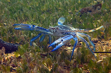 Blue Swimming Crab (Portunus pelagicus) male foraging among seagrass, Edithburgh, South Australia, Australia  -  John Lewis/ Auscape