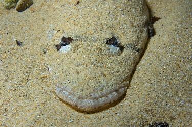 Longhead Flatfish (Leviprora inops) buried in sand for protection, Edithburgh, South Australia, Australia  -  John Lewis/ Auscape