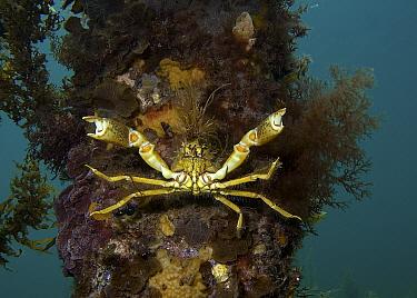 Spider Crab (Naxia aurita) in threat display on jetty pylon, Wool Bay, South Australia, Australia  -  John Lewis/ Auscape