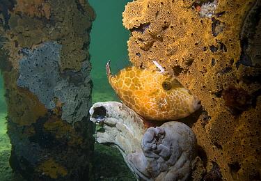Mosaic Leatherjacket (Eubalichthys mosaicus) camouflaged against ascidians on a jetty pylon, Edithburgh, South Australia, Australia  -  John Lewis/ Auscape