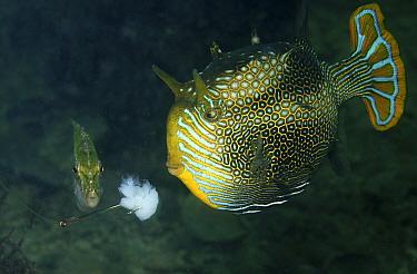 Ornate Cowfish (Aracana ornata) male and smaller Bridled Leatherjacket (Acanthaluteres spilomelanurus) trying to bite baited hook, Port Hughes, South Australia, Australia  -  John Lewis/ Auscape