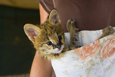 Serval (Leptailurus serval) five week old orphan kitten in kangaroo pouch which is used to increase emotional bond with foster parent, Masai Mara, Kenya  -  Suzi Eszterhas