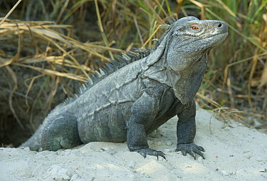 Ricord's Iguana (Cyclura ricordi), Lago Enriquillo National Park, Dominican Republic  -  Kevin Schafer